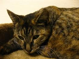 Can Not Eating Cause Kidney Failure In Cats