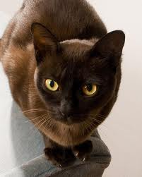 Can Burmese Cats Be Left Alone