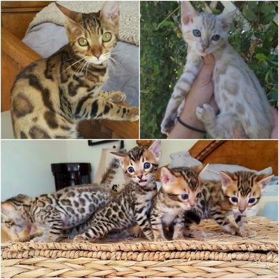 Our Beautiful Bengals